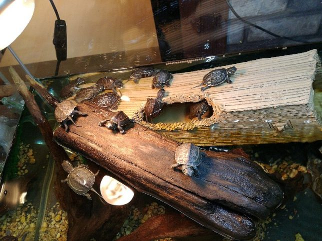 ゼニガメ、石亀、ニオイガメ