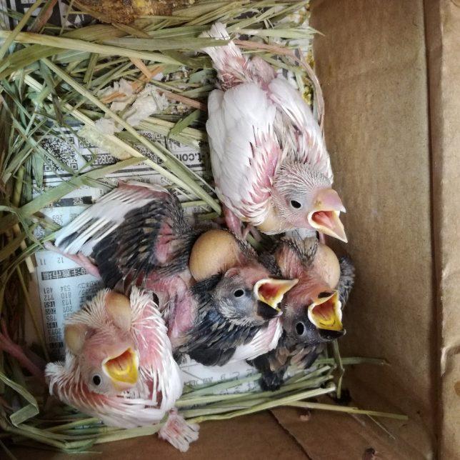 桜文鳥、白文鳥のヒナ 11月2日入荷