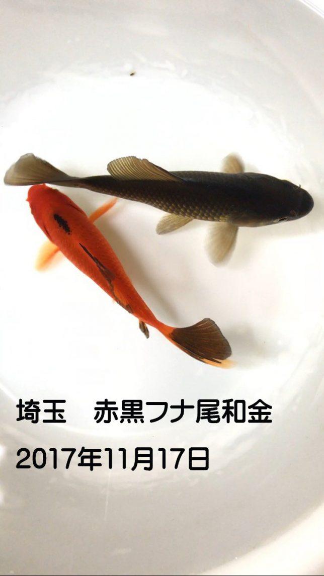 選別金魚 11月17日