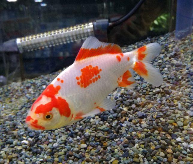 今週の特選金魚