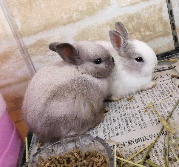 可愛いミニウサギ 入荷