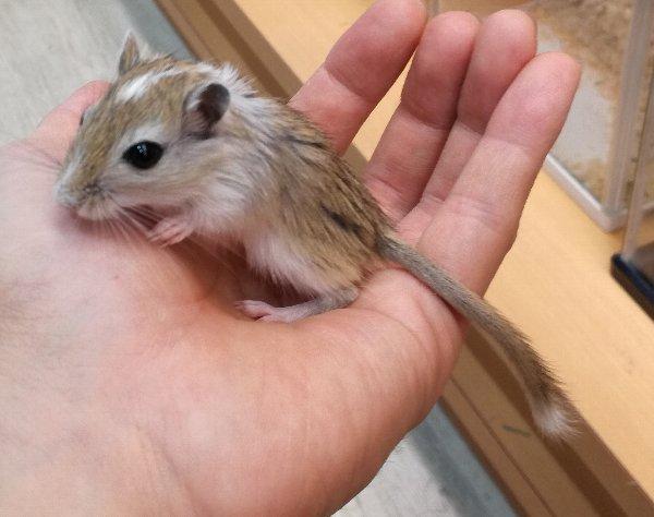 ただいまのおすすめ小動物 ジャービルパイド、デグーブルー