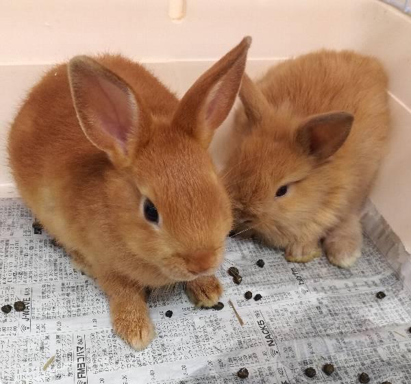 オレンジ色のウサギ入荷しました