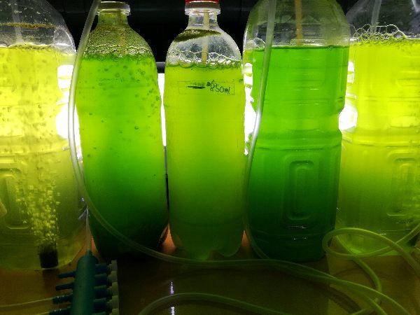 ミジンコの生体、培養用の生クロレラ水、インフゾリアそろって販売中